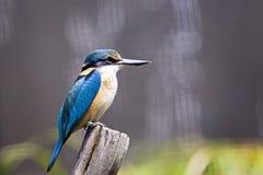 En kungsfiskarefågel som har en vila Arkivbilder