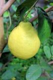 En kvalitet av citronen Arkivbilder