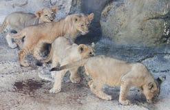 En kvartett av nyfikna Lion Cubs Royaltyfri Bild