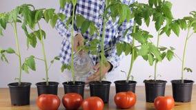 En kvinna fuktar jorden Plantatomat stock video