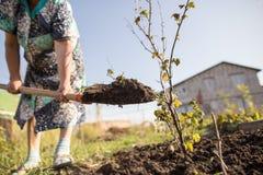 En kvinna gräver en trädgård med en skyffel Arkivbilder
