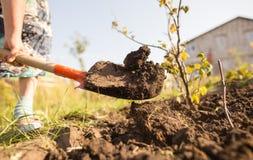 En kvinna gräver en trädgård med en skyffel Arkivfoto