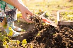 En kvinna gräver en trädgård med en skyffel Arkivbild