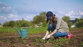 En kvinna i handskar planterar tomatplantor i jorden arkivfilmer