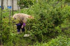 En kvinna i landet skördar björnbär Arkivbild