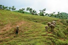 En kvinna med bufflar på kullen Royaltyfri Bild