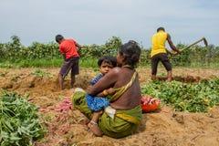 En kvinna med ett barn i fältet Indiska familjplockningsötpotatisar Indien Karnataka, Gokarna, vår 2017 Royaltyfria Foton
