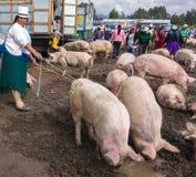 En kvinna rymmer regeringstiderna på två svin som hon säljer i Cuencen Arkivfoton