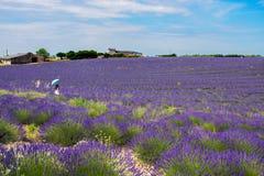 En kvinna som isoleras i ett levenderfält på Valensole, Provence, Frankrike fotografering för bildbyråer