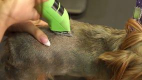 En kvinna som klipper en lilla Yorkshire Terrier med en elektrisk hårclipper arkivfilmer