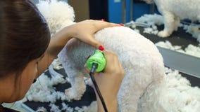 En kvinna som klipper en liten a-hund Bichon Frise med en elektrisk hårclipper arkivfilmer