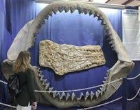 En kvinna stirrar på CarcharodonMegalodon käkar Royaltyfri Foto