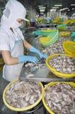 En kvinnaarbetare klassificerar bläckfisken för export i en havs- bearbeta fabrik arkivbild
