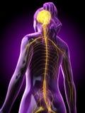 En kvinnas hjärna och nervsystem stock illustrationer