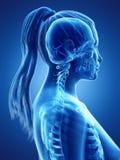 en kvinnas skelett- hals royaltyfri illustrationer
