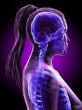 en kvinnas skelett- hals vektor illustrationer