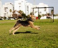 Den Airdale terrieren förföljer spring på parkera royaltyfria foton