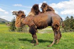 En kvinnlig Bactrian kamel Arkivbild