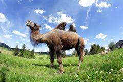En kvinnlig Bactrian kamel Arkivbilder