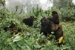 En kvinnlig berggorilla med en behandla som ett barn i Rwanda Arkivfoton