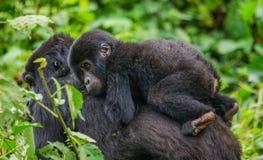 En kvinnlig berggorilla med en behandla som ett barn uganda Bwindi ogenomträngliga Forest National Park royaltyfri foto