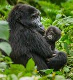 En kvinnlig berggorilla med en behandla som ett barn uganda Bwindi ogenomträngliga Forest National Park Royaltyfria Bilder