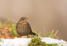 Kvinnlig Blackbird Royaltyfri Foto