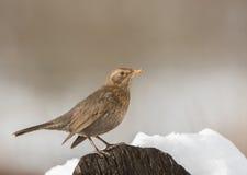 Kvinnlig Blackbird Royaltyfria Foton