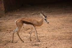 En kvinnlig gemensam elandantilop som går över det torra landet royaltyfri fotografi