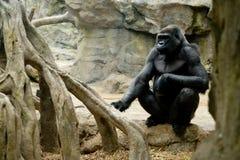 En kvinnlig gorilla sitter och klockor Arkivfoto