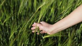 En kvinnlig hand slår de gröna veteöronen med affektion stock video