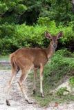 En kvinnlig hjort Fotografering för Bildbyråer