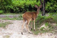 En kvinnlig hjort Arkivfoton