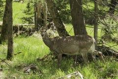 En kvinnlig hjort i en skoginställning Arkivfoton