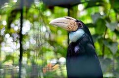 En kvinnlig hornbill. royaltyfri foto