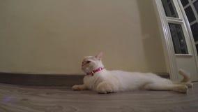 En kvinnlig katt ligger på golvet stock video