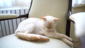 En kvinnlig katt ligger på stolen arkivfilmer