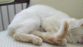 En kvinnlig katt ligger på stolen stock video