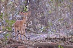 En kvinnlig Kudu bock royaltyfri foto