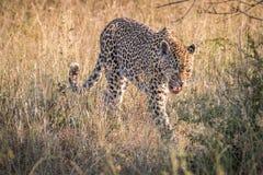 En kvinnlig leopard som går i gräset Royaltyfri Foto