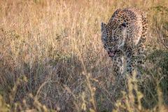 En kvinnlig leopard som går i gräset Arkivbild