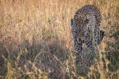 En kvinnlig leopard som går i gräset Royaltyfri Fotografi