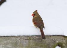 En kvinnlig nordlig kardinal On en snöig sittpinne Arkivbild