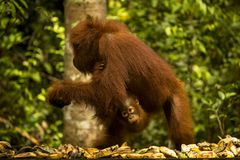 En kvinnlig orangutang med en behandla som ett barn Royaltyfria Bilder
