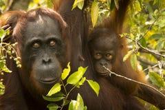 En kvinnlig orangutang med henne behandla som ett barn Royaltyfri Bild