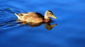 En kvinnlig simning och foder för lös and arkivfoton