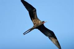 En kvinnlig storartad frigatebird Royaltyfria Foton