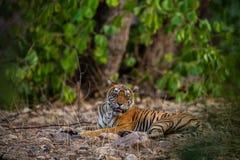 En kvinnlig tiger som vilar i afton med h?rligt omge, precis innan att g? att starta territoriet markera p? Ranthambore fotografering för bildbyråer