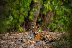 En kvinnlig tiger som vilar i afton med h?rligt omge, precis innan att g? att starta territoriet markera p? Ranthambore arkivbilder