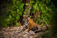 En kvinnlig tiger som vilar i afton med h?rligt omge, precis innan att g? att starta territoriet markera p? Ranthambore royaltyfri bild